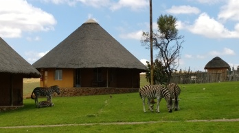 South African zebras