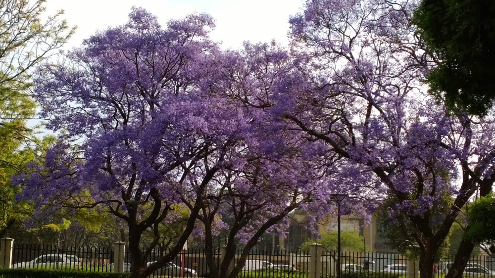 My new favourite tree – the jacaranda! Beautiful purple flowers