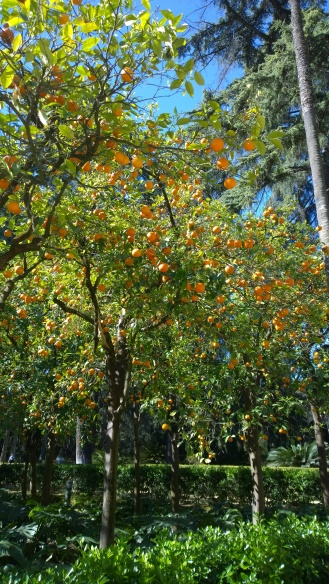 Oranges in Sevilla