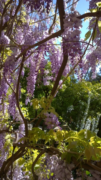 Gorgeous purple wisterias